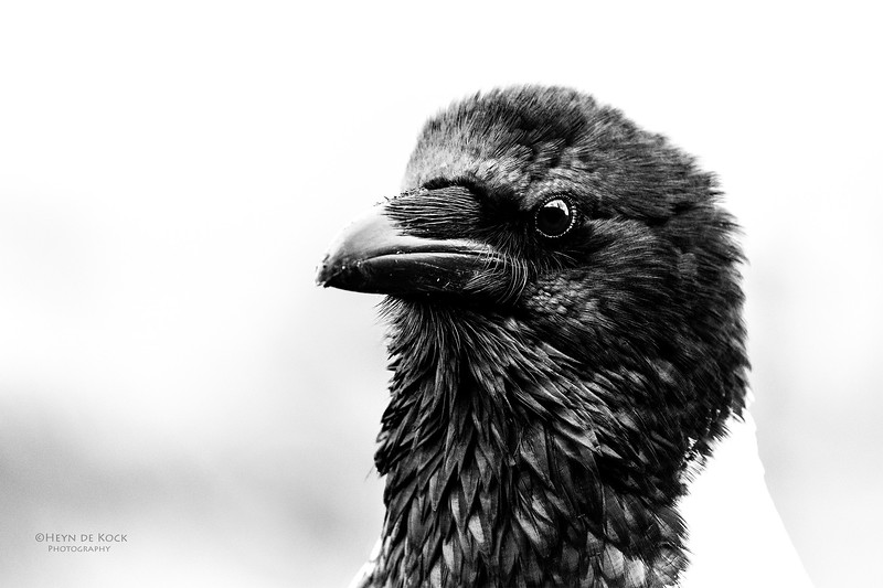 Pied Crow, b&w, Zimanga, South Africa, May 2017-1a.jpg
