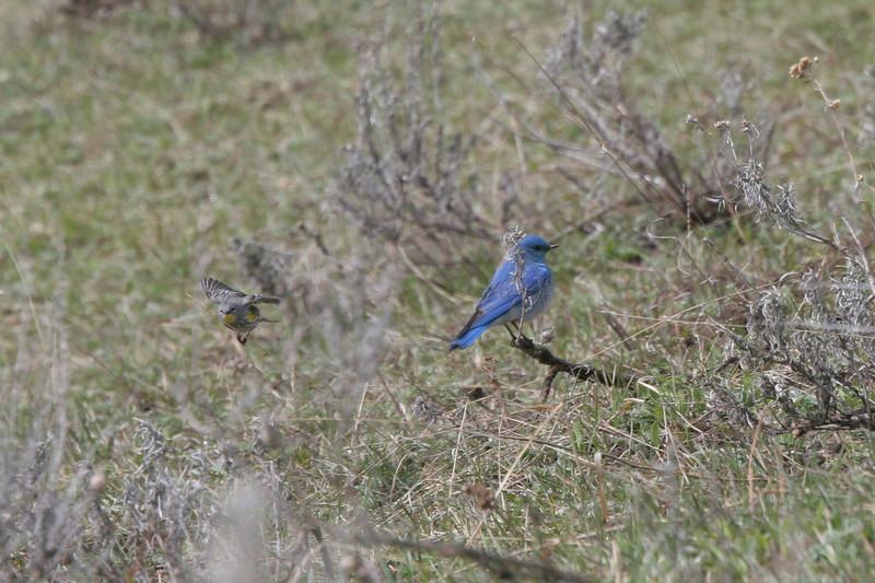 Mountain Bluebird and Yellow-rumped Warbler (in flight)