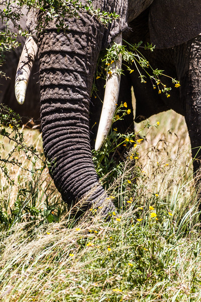 Close-up of elephant trunk - East Africa - Tanzania