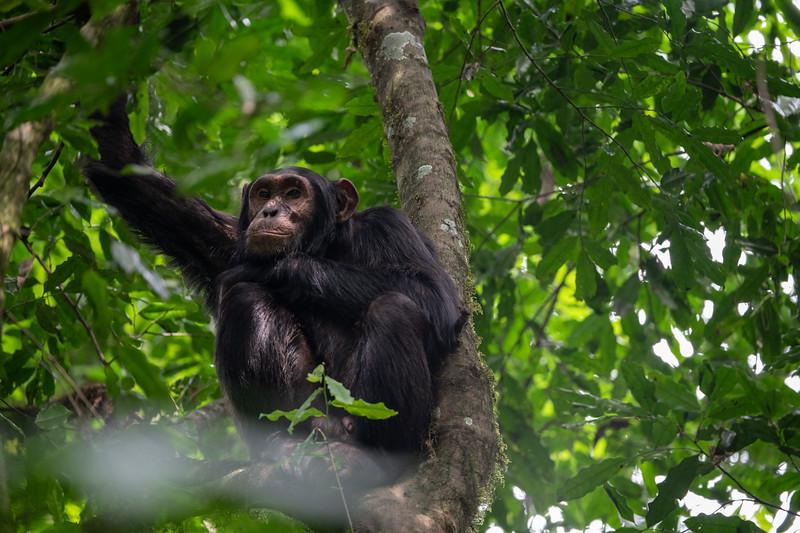 Uganda_T_Chimps-1624.jpg