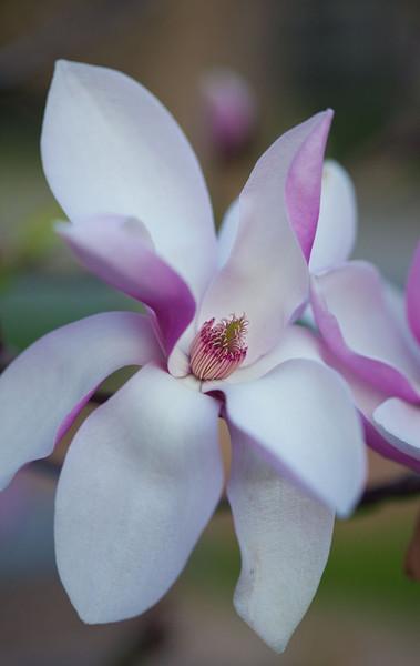 Magnolias13-9230.jpg