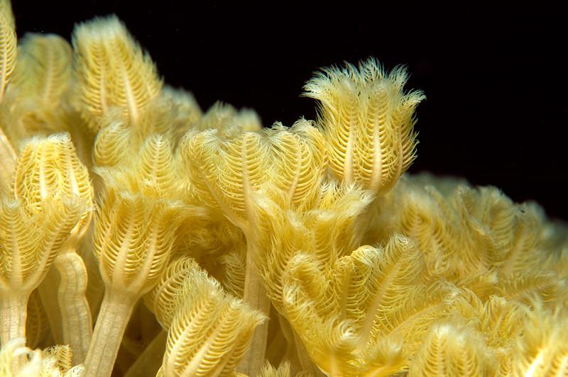 Pumpende Straußenkoralle, Rotes Meer, Sudan / Pulse Coral, Waving Hand Polyp, Red Sea, Sudan