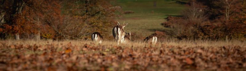 2019 - Deer at Knole Park November 008