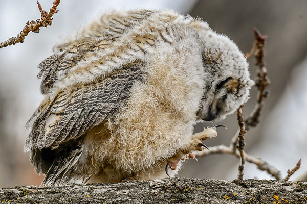 3-27-19 Video Great Horned Owlet