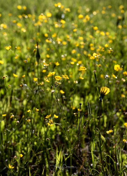 Bow Valley Pkwy Wildflowers 2017_ALP0917.jpg