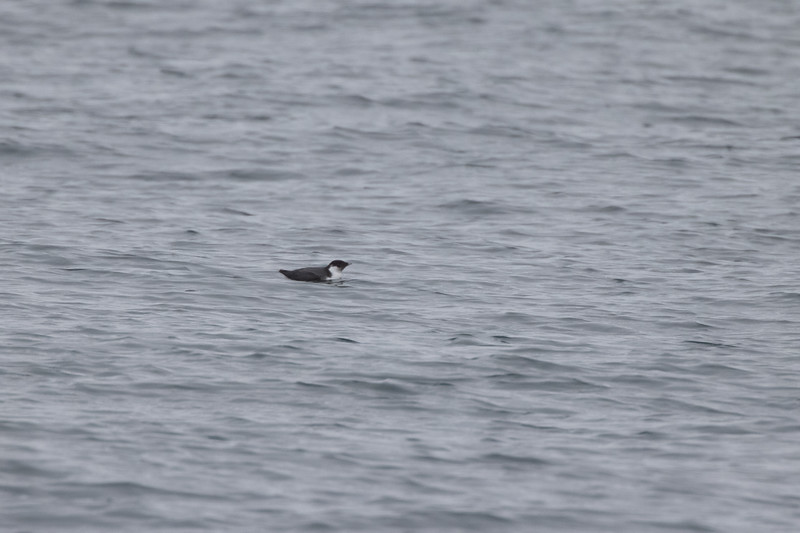 Ancient Murrelet off Stoney Point Lake Superior Lake County St. Louis County MN  IMGC7977.jpg