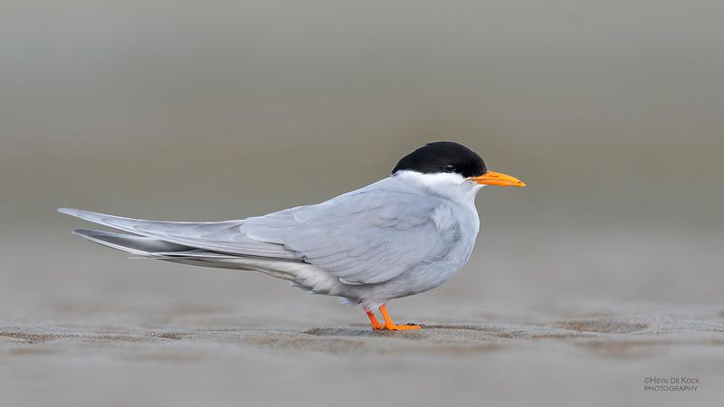 Black-fronted Tern, Christchurch, SI, NZ, Sep 2018-4.jpg