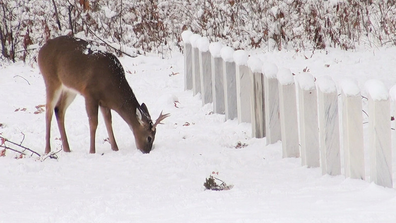 whitetail_snow_008.mov