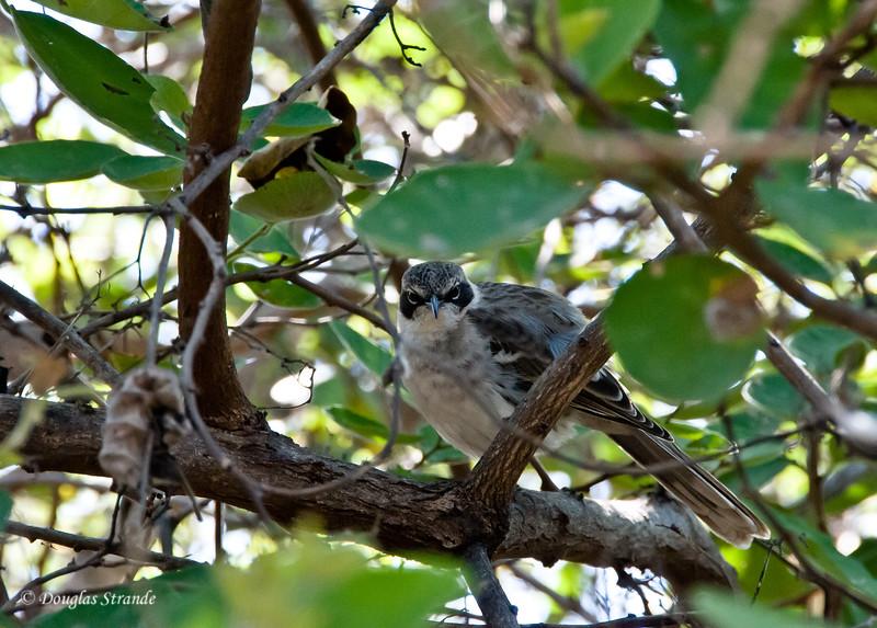 Mockingbird at Urvina Bay, Isabela