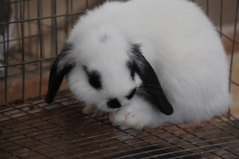 Havre Daily News / Floyd Brandt   4H / FFA Rabbit Showing Blain County Fair Saturday, Mini Lop Goosey raised by Tucker Crawford.