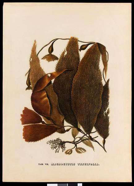 Macrocystis tenuifolia