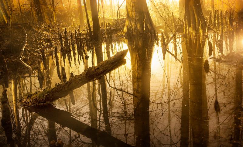 Foggy Cypress Bog