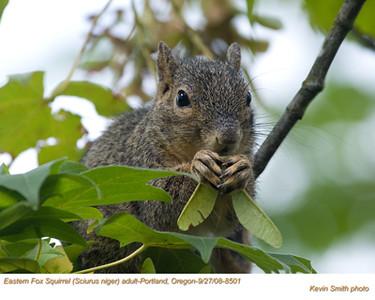 EasternFoxSquirrel8501.jpg