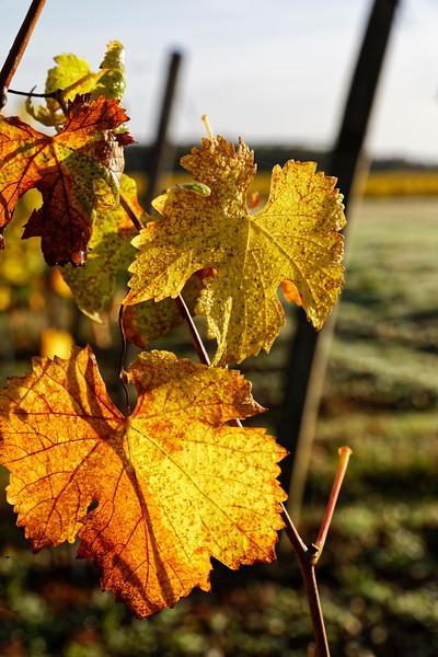 Vignes d'Azay-le-Rideau
