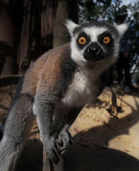 Lemurs In Kobe