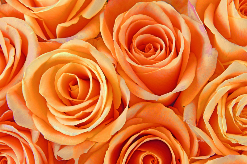 Peach Rose Perfection