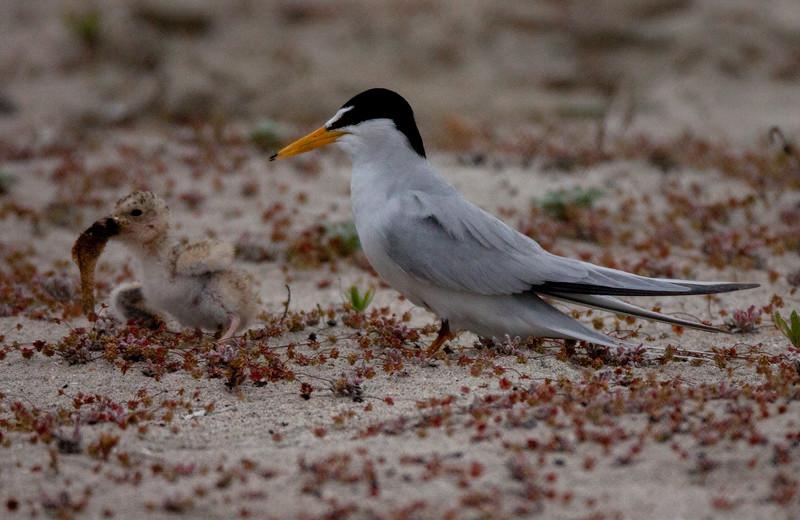 Least Tern Batiquitos 2015 06 06-6.CR2