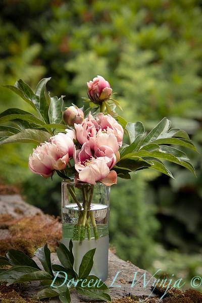 Paeonia x 'RTPIV791-38' Caroline Constabel - Peony cut flowers_1223.jpg