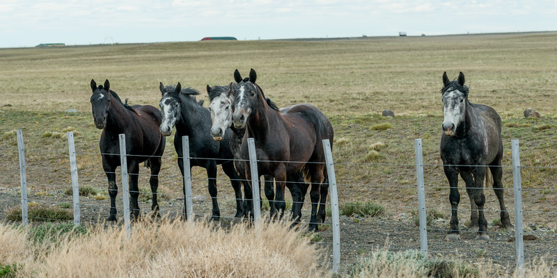 Five horses standing next to fence in field, Santa Cruz Province, Patagonia, Argentina