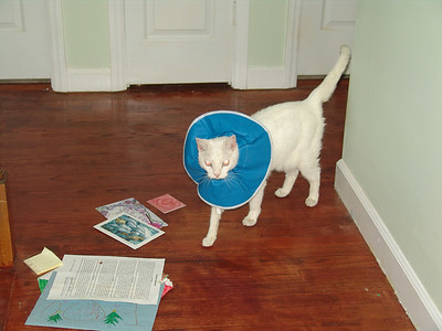 The cat in the hat (or collar, as it may be)