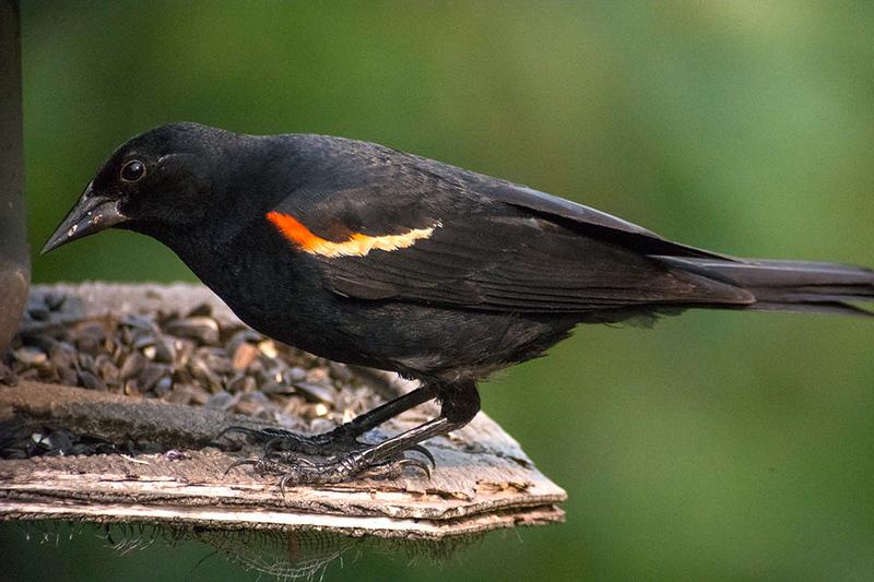 BJHoyRedWingBlackbird2104.jpg