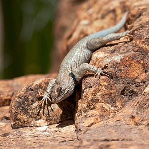 Clark Spiny Lizard