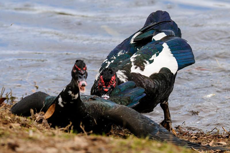 Duck - Muscovy - Lake Ella - Tallahassee, FL