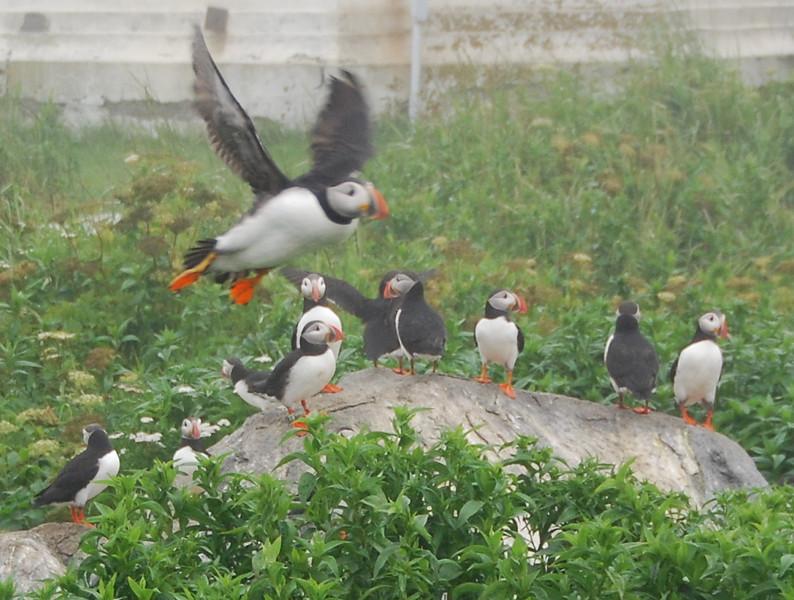 Machias Seal Island Trip - 071