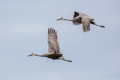 Seabirds | Shorebirds | Waterbirds | Wading Birds | Waterfowl | Sandhill Cranes