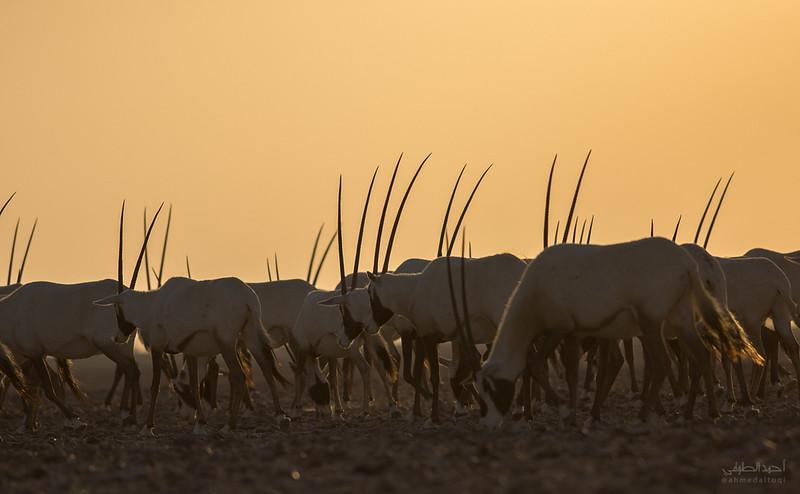 Arabian Oryx (74).jpg