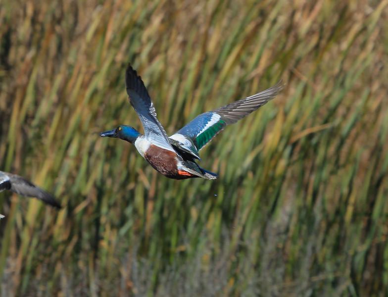 Male Shoveler Duck taking flight.