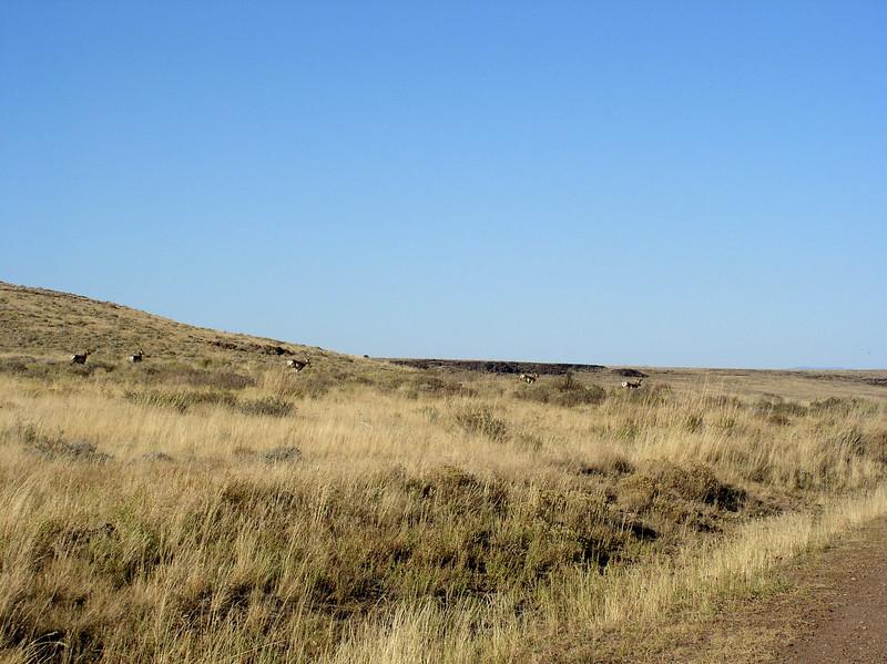 pronghorn at Hart Mountain