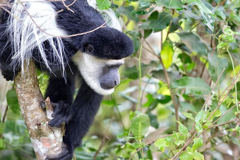 Black & White Colobus: Arusha NP, TZ