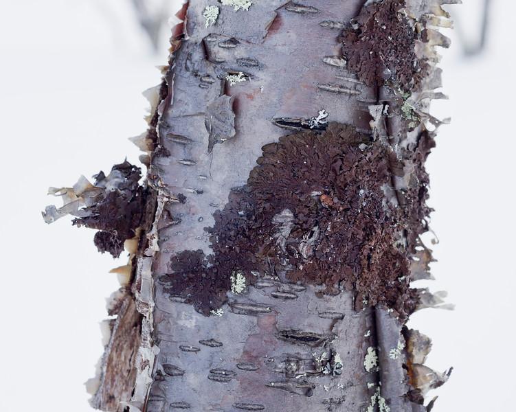 Birch Bark and Lichen