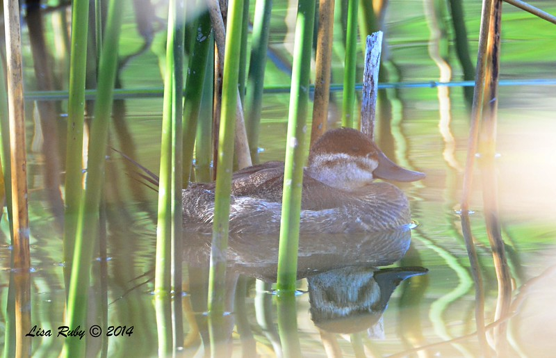 Ruddy Duck hiding in the reeds  - 12/14/2014 - Poway Pond