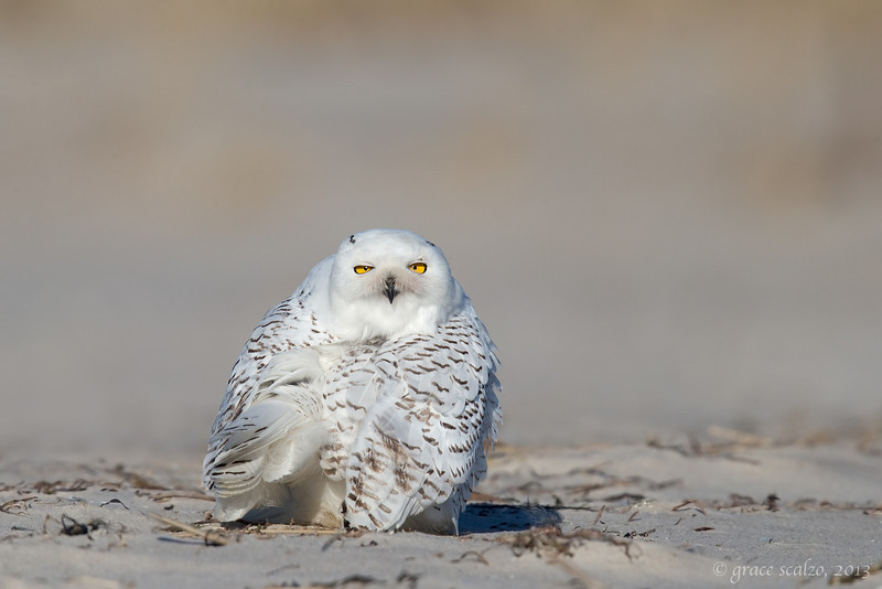 Snowy Owl preening over the shoulder_O8U1966-Edit.jpg