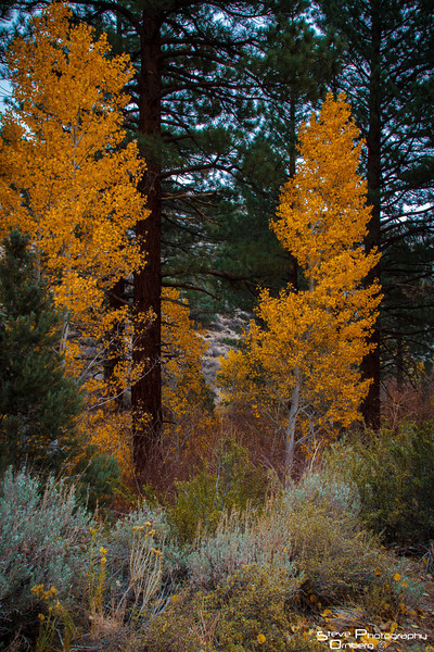 Some remaining aspens in fall color