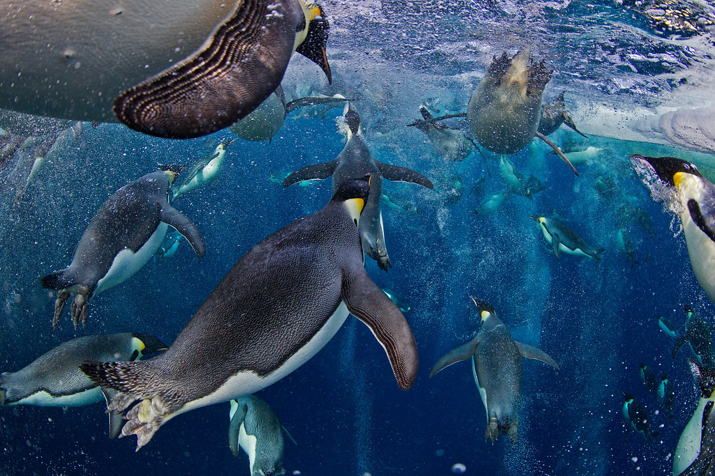 . World Press Photo 1st prize Nature Stories by Paul Nicklen, Canada, for National Geographic magazine shows Emperor Penguins, even though they have evolved an incredibly advanced bubble physiology the greatest challenge they face is the loss of sea ice that supports their colonies and ecosystem. New science shows that Emperor Penguins are capable of tripling their swimming speed by releasing millions of bubbles from their feathers. These bubbles reduce the friction between their feathers and the icy seawater, allowing them to accelerate in the water. They use speeds of up to 30 kilometers per hour to avoid leopard seals and to launch themselves up onto the ice, Ross Sea, Antarctica, Nov. 18, 2011. (AP Photo/Paul Nicklen, National Geographic magazine)