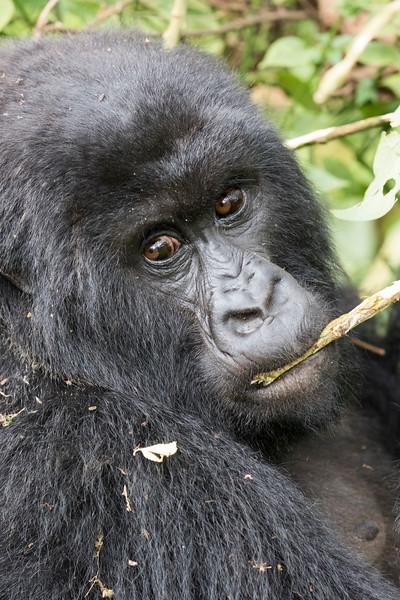 2019 Highland Gorillas and other Primates, Rwanda