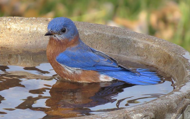 sx50_bluebird_birdbath_849.jpg