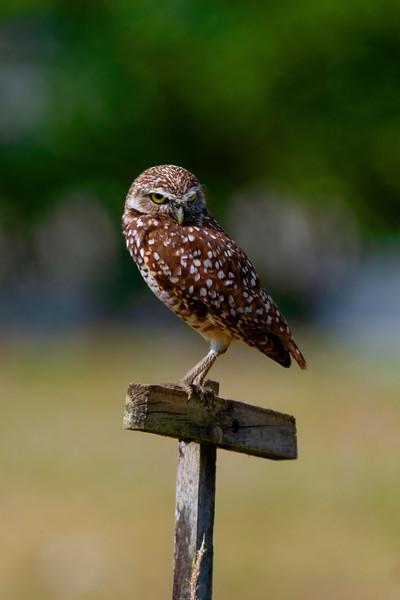 Burrowing Owl - bird of prey