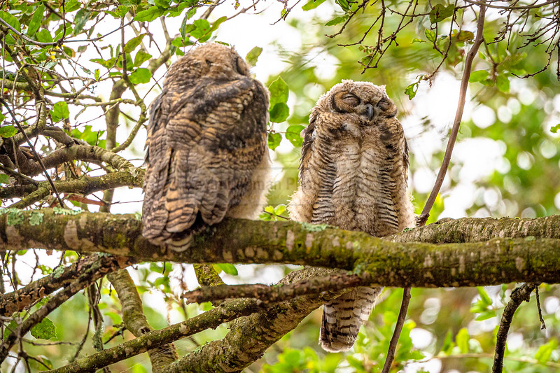 A Pair of Juvenile Great Horned Owls