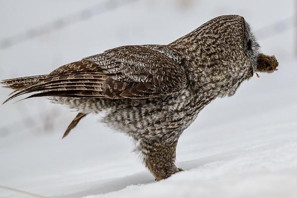 3-21-18 **Great Gray Owl Hunting II