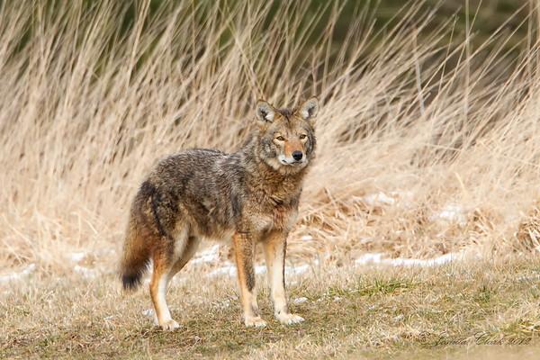 Eastern Coyote
