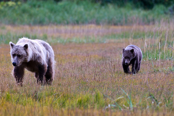 Alaskan Coastal Brown Bears