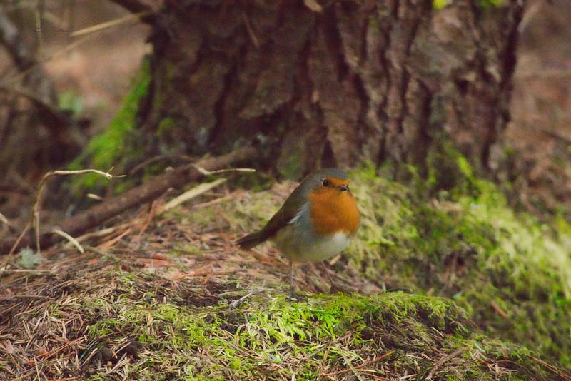 Robin close up.jpeg