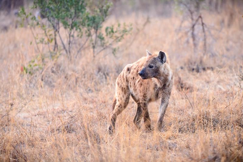 Watchful Hyena