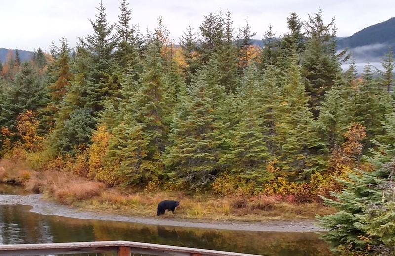 Black Bear at Mendenhall.jpg