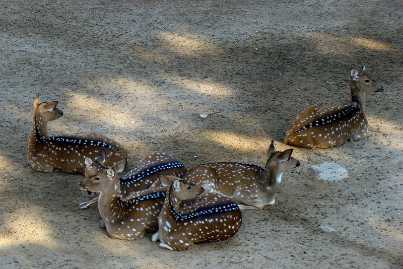 SPOTTED DEER - INDIA