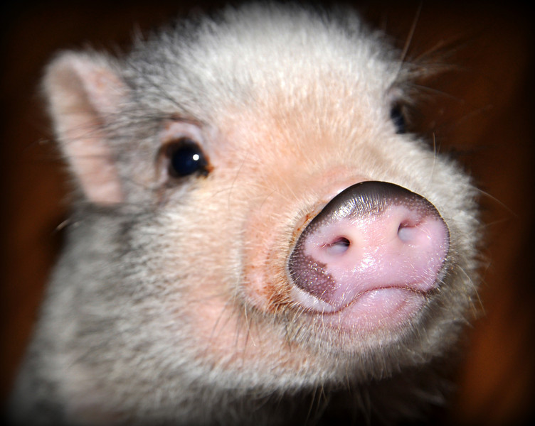 I decided to go with the name...BERNIE!! Somehow that just fits him. Bernie is a smart little pig..he learns very quickly...took about ten minutes to teach him how to give you a kiss! Don't you just love that cute little snout???